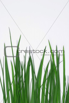 Green grass isolated on white.