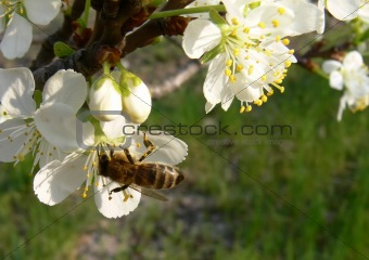 Bee on an apple flower