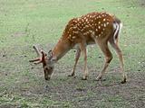 Pasturing deer
