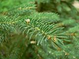 Fir twig with dew drops