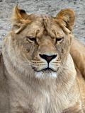 Female Lion Face