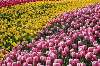 Tulip's Field