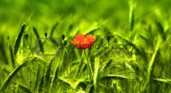 Wheat and flower