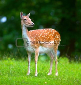 Beautiful doe