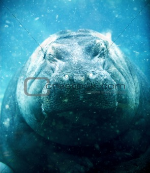 hippopotamus sleeping under water