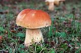 Wild Mushroom