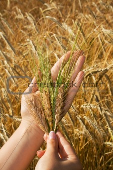 Golden crops in woman hands