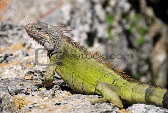 Closeup of lizard