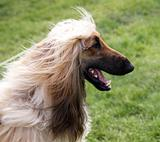 Happy Afghan Hound