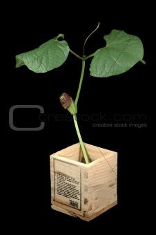 Growing bean