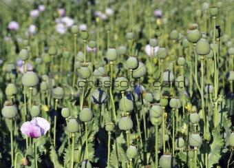 capsules of poppy in summe