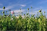 Poppy field against a blue sky