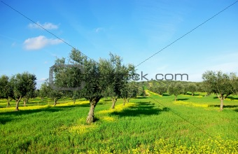 Olives tree in green field at Portugal.