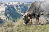 Cow grazing. The Sassi of Matera. Basilicata.
