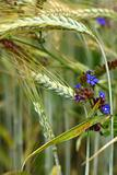 Spikelets of wheat and wild flowers