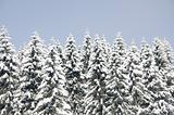 Spruce trees covered in fresh snow