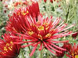 beautiful big red chrysanthemum