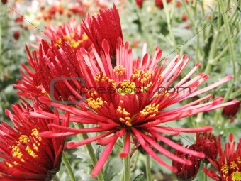 beautiful big red chrysanthemum