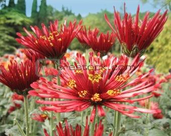 beautiful big red chrysanthemums