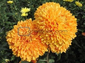 beautiful big orange chrysanthemums