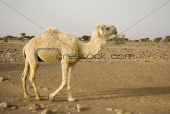 A white  camel in the desert in Africa