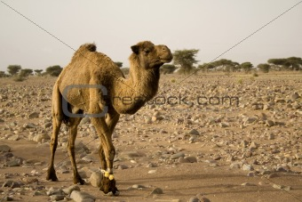 A brown camel hindered forelegs, in the desert in Africa