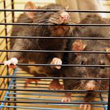 Gray rats