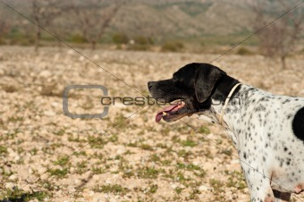 Pointer hunting dog