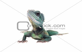 Green iguana(Iguana iguana) isolated on white background