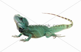 Green iguana(Iguana iguana) isolated on white background