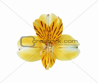Beautiful yellow lily on white background