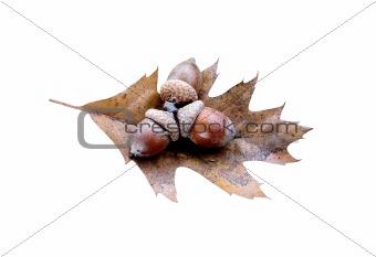 acorns on oak leaf isolated on white