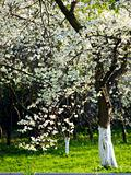 Blooming tree in park