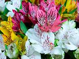 Big bouquet of alstroemeria flowers