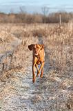 Vizsla Dog Running down a Snowy Path in Winter
