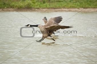 Canada Goose (Branta canadensis) Landing