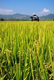 Hut and rice field