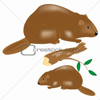 Animals beavers on white background
