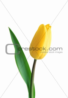 beautiful yellow tulip isolated on white background