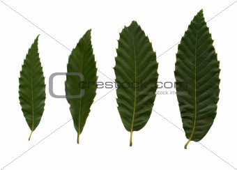 Four green leafves of chestnut
