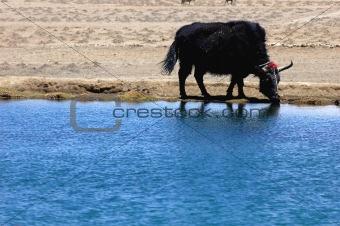 Black yak at lakeside
