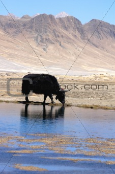 Black yak at lakeside