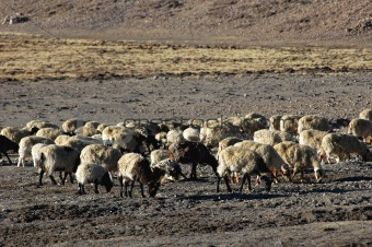 Sheep in Tibet