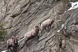 Bighorn sheeps