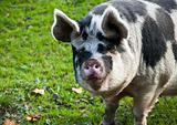 Saddle-back pig