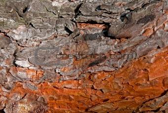 Beautiful bright colored pine bark