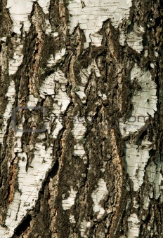 Beautiful birch bark