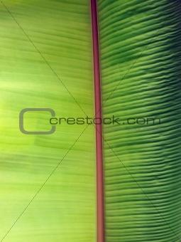 Green banan leaf