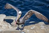 Brown Pelican with Wings Spread