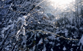 Frost winter branch